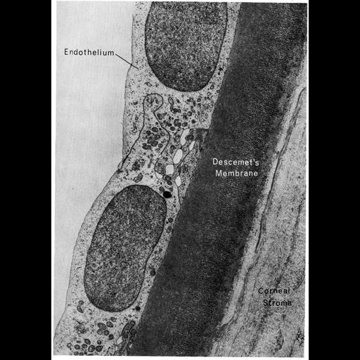 corneal endothelial cell