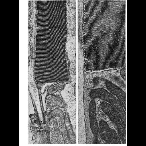 retinal rod cell